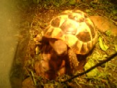 Schickdi the tortoise.